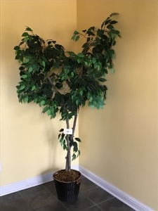 Fig Tree In Planter, 6 '